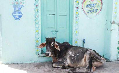 Koeien India